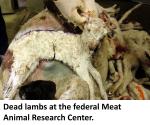 Lambs, dead, 3